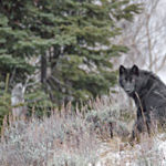 National Geographic photog presents YNP experiences