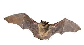 Bat observations more frequent during fall months